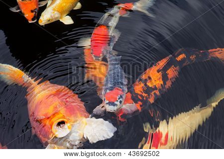 Kois In A Pond