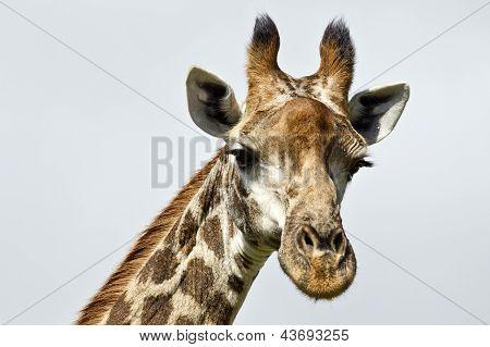 Perfil de girafa