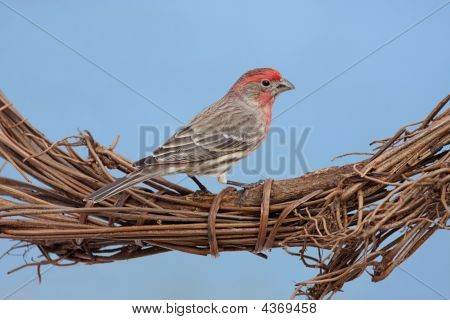House Finch On Wreath