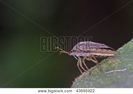 bug in hemiptera group