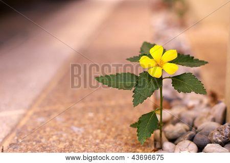 Sage Rose flower