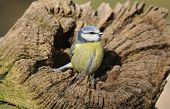 pic of hollow log  - Blue Tit  - JPG
