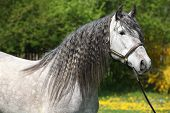 stock photo of carthusian  - Portrait of Carthusian horse  - JPG