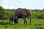 stock photo of tusks  - Mother and baby african elephants walking in bush savannah - JPG