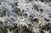stock photo of edelweiss  - Bunch of Blooming Edelweiss Flowers in Gstaad - JPG