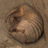 foto of armadillo  - Sleeping armadillo  - JPG