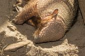 pic of armadillo  - Sleeping armadillo  - JPG
