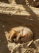 picture of armadillo  - Sleeping armadillo  - JPG