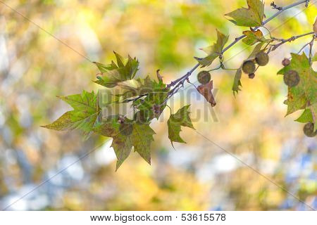 Sycamore leaves in bright autumn day