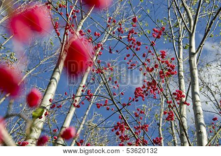 Red Fruit Berry European Spindle (euonymus Europaeus) In Autumn Forest