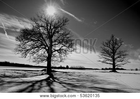 Two Oaks On Winter Field