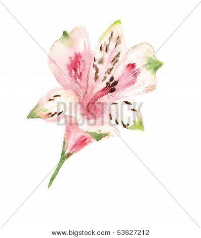 pink alstromeria
