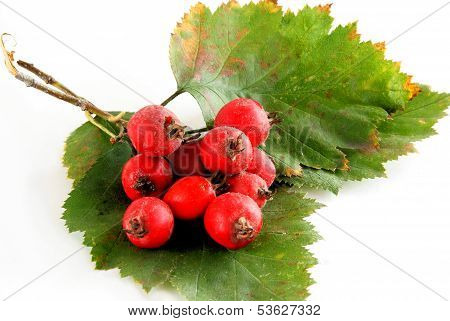 red berries of hawthorn bush