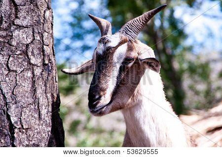 Head goat
