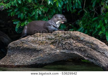 Giant otter standing on log in the peruvian Amazonian jungle at Madre de Dios