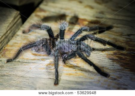 black tarantula in the peruvian Amazonian jungle at Madre de Dios