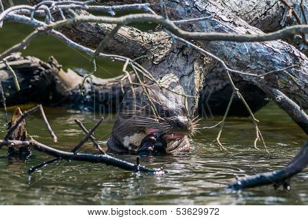 Giant otter eating in the peruvian Amazonian jungle at Madre de Dios