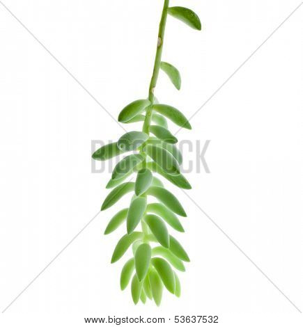 Sedum morganianum plant  isolated on white background