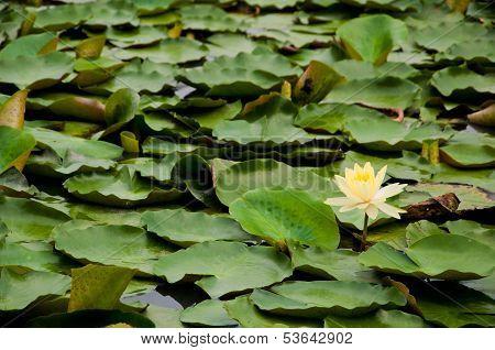 A Yellow Lotus In The Lake
