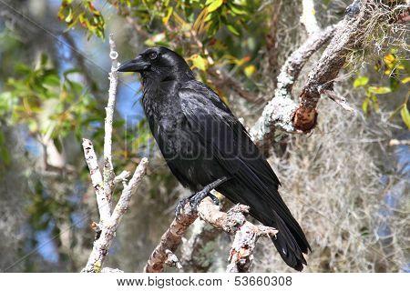 American Crow (corvus Brachyrhynchos)