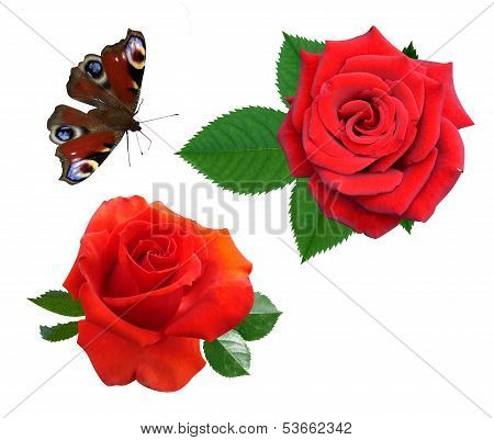 Roses flowers it is isolated butterfly