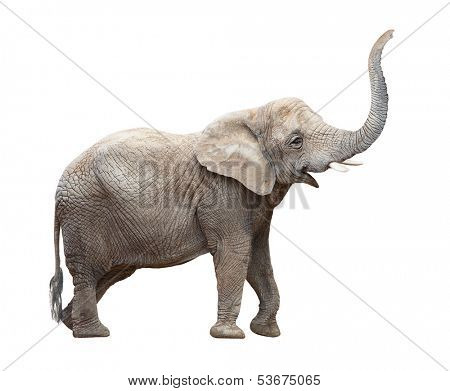 African elephant (Loxodonta africana) on a white background.