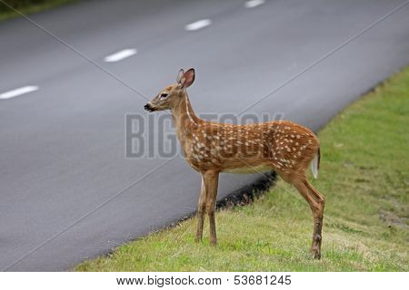 Fawn Waiting Beside the Road