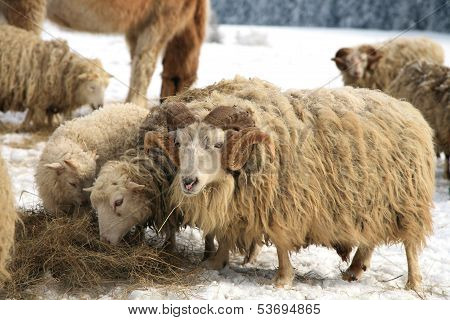 Flock of sheep skudde with ram