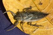 stock photo of water bug  - A West African Water Scorpion resting on a leaf