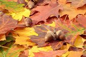 foto of ground nut  - Autumn leaves and oak nuts on a ground - JPG