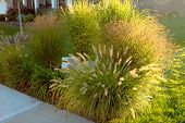 stock photo of horticulture  - Neighborhood beautification hiding underground power line and telecommunication boxes with giant ornamental grasses in the neighborhood