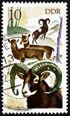 Postage Stamp Gdr 1977 Mouflons, Animal