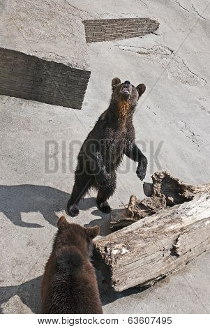 Two Brown Bears At Zoo (ursus Arctos Arctos)