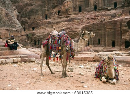 Two Decorated Camels, Petra In Jordan
