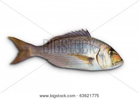 Dentex Dentex fish sparidae from Mediterranean sea isolated in white