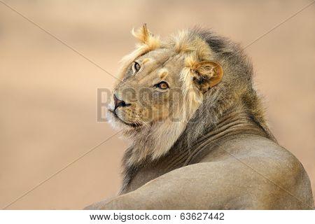 Portrait of a young male African lion (Panthera leo), Kalahari desert, South Africa