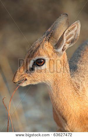Portrait of small Dara dik-dik antelope (Madoqua kirkii), Etsosha National Park, Namibia