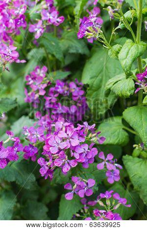 Violet Flowering Annual Honesty