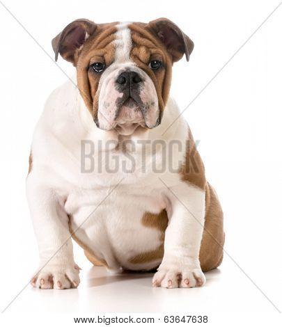 english bulldog puppy - 4 months old
