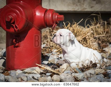 little english bulldog sniffing red fire hydrant