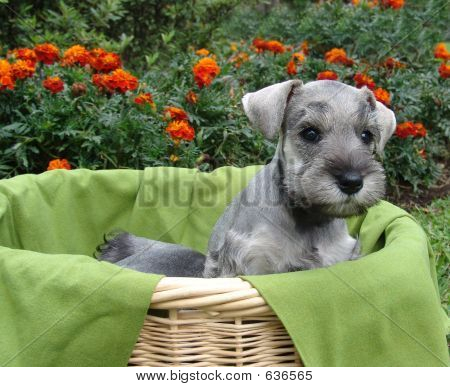 Schnauzer Puppy In Basket