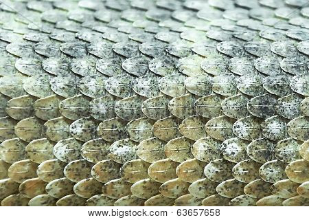 Mitchells Rattlesnake Scales (crotalus Mitchellii)