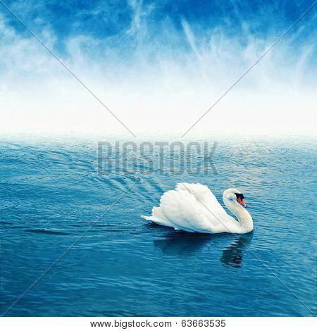 Mute Swan Floating On Water