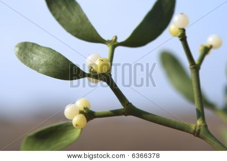Mistletoe Plant Close-up
