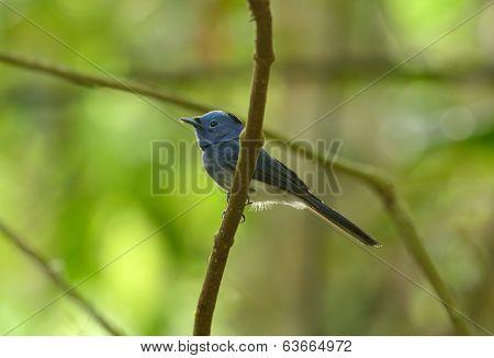 Male Black-nape Monarch