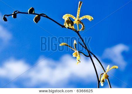 Orkidea amarilla