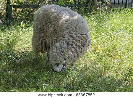 One sheep graze in long grass