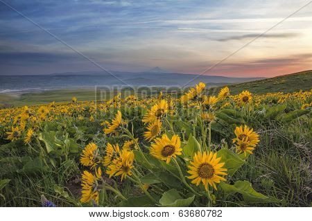 Arrowleaf Balsamroot At Columbia Hills State Park