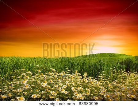 Summer wildflowers in wheat field