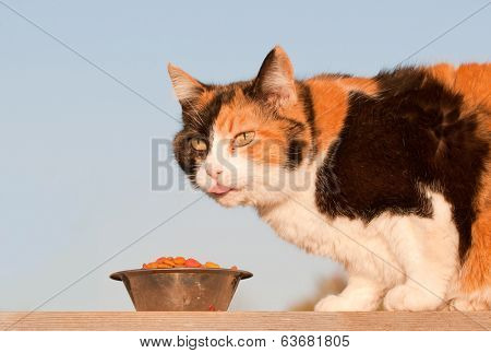 Beautiful calico cat eating kibble outdoors, in spring evening sun
